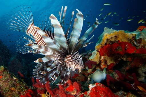Eat Them To Beat Them! Jade Mountain and Anse Chastanet St Lucia Introduce New Lionfish Menu and Diving Course to Tackle Invasive Species